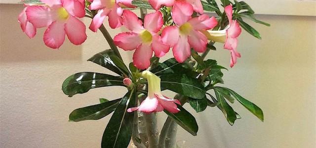 Rosa-do-deserto-Adenium-obesum-1-7